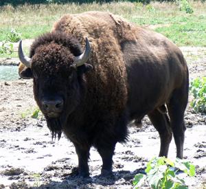 Buffalo Farm by Burchard Lake